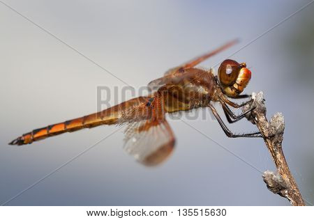 Brightly colored orange dragonfly sitting on a stick