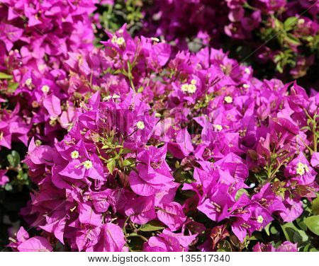 Background Of Beautiful Flowers In Bloom With The Purple Petals