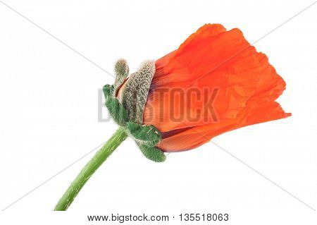 Single red poppy flower