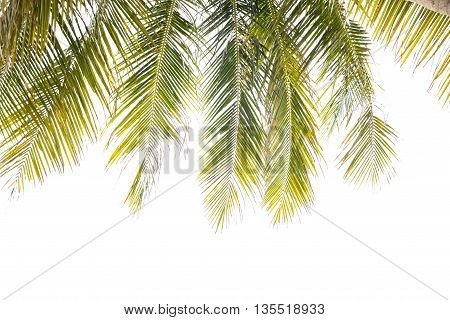 Green Leaves of coconut treecoconut leaf isolated on white background.