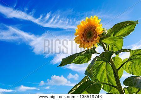 Beautiful sunflower against blue sky. Sunflower on Blue Sky background.