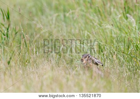 Cute wild rabbit hiding and peeking from high grass