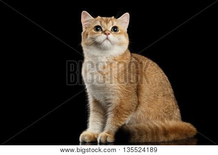 Furry British breed Cat Gold Chinchilla color Sitting and Looking up, Isolated Black Background, side view