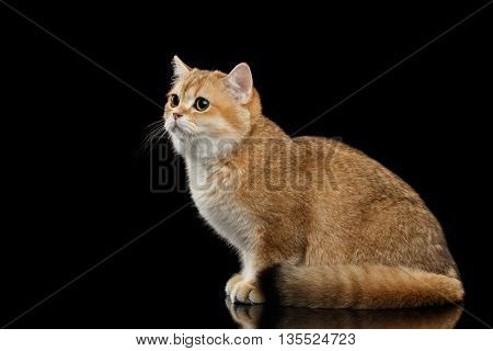 Cute British breed Cat Gold Chinchilla color Sitting and Sadly Looks, Isolated Black Background, side view