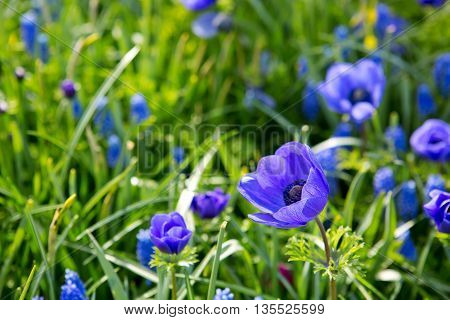 Himalayan poppy flowers.Close up of a wild blue poppy im summer garden.