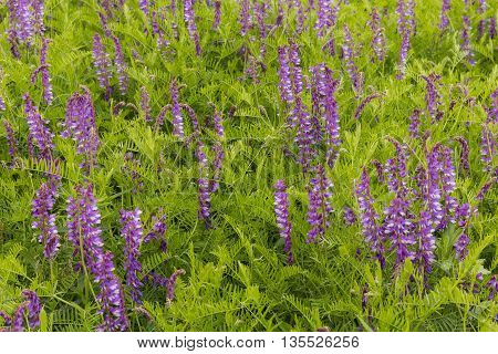 A cluster of purple wildflowers in late spring.