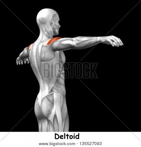 Concept or conceptual 3D illustration back human anatomy or anatomical and muscle isolated on black background