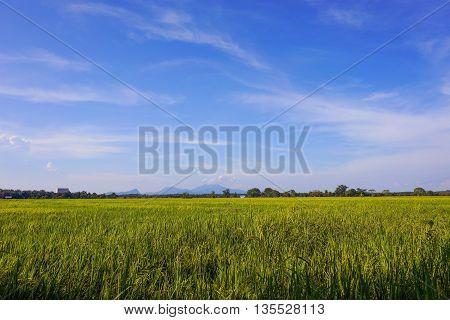 Paddy jasmine rice field with blue sky