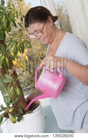 Elderly woman takes care of the potted plant. Houseplant - Scheffler (lat. Schéfflera) - a genus of plants of the family Araliaceae (Araliaceae).
