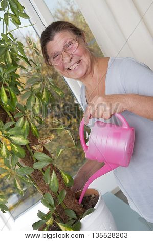 Elderly woman watering a houseplant. Houseplant - Scheffler (lat. Schéfflera) - a genus of plants of the family Araliaceae (Araliaceae).