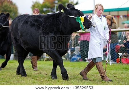 NEWBURY, UK - SEPTEMBER 21: A livestock handler parades one of the shows champion bullocks around the main show arena during the grand parade at the Berks County show on September 21, 2013 in Newbury