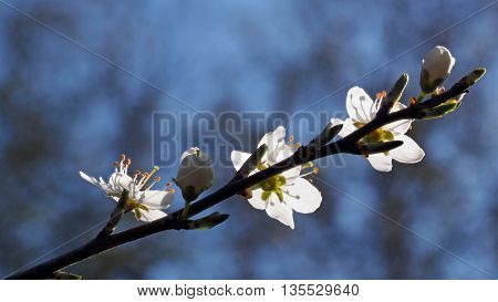a sprig of tree full of flowers. Spring is a beautiful season full of pollen