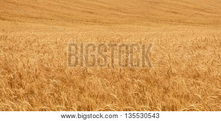 background from golden ears of wheat