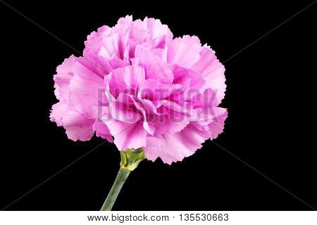 Gently purple carnation isolated on black background