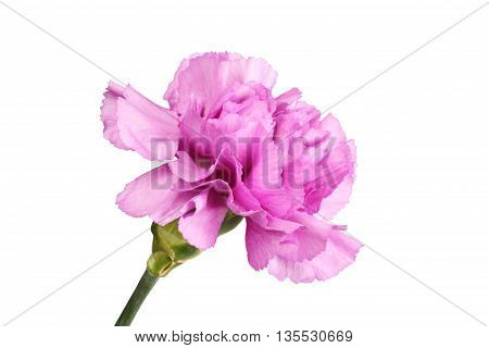 Gently purple carnation isolated on white background