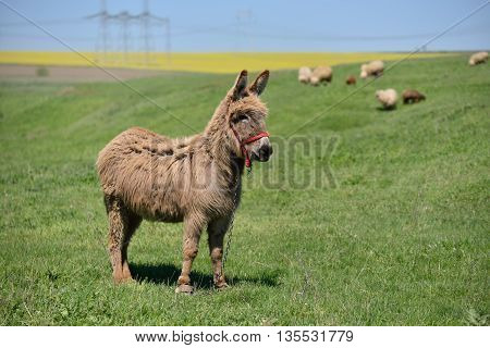 Donkey on a green field with sheep in background
