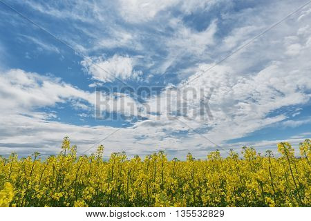 Colza rapeseed field against blue cloudy sky