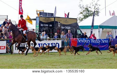 NEWBURY, UK - SEPTEMBER 21: A rider of the local hunt demonstrates how to run and control the dog pack when hunting in the main arena at the Berks County show on September 21, 2014 in Newbury