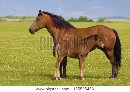 Sorrel horse and foal on the floral meadow