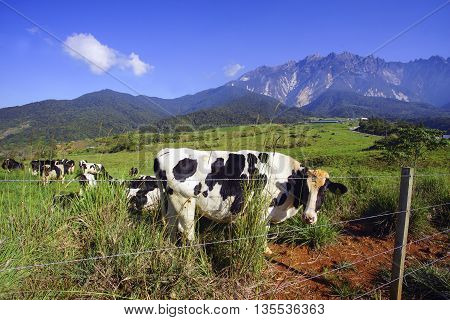 Dairy cows in paddock eating fress grass under the blue sky New Zealand