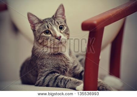 Portrait of a domestic striped young cat lies on a chair.
