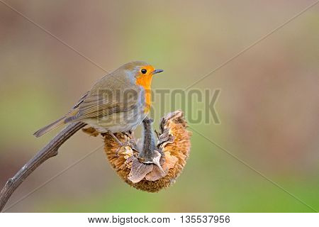 Robin resting on a sunflower on nature background
