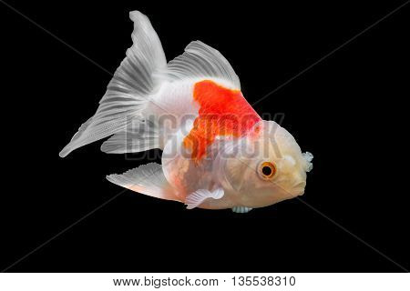 goldfish isolated on black background. File contains a clipping path.