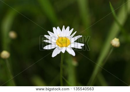 Flower of a corn chamomile (Anthemis arvensis)