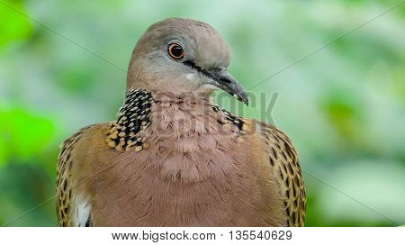 close up Brown dove in green nature background