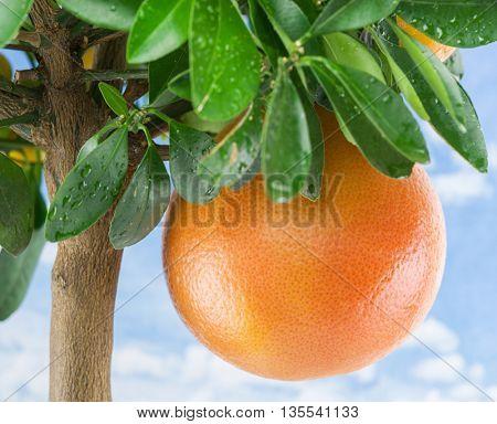 Big ripe grapefruit on the tree. Blue sky background.