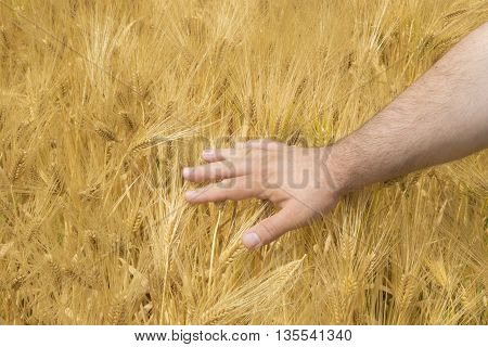 Male hand of a farmer touching ripening wheat ears