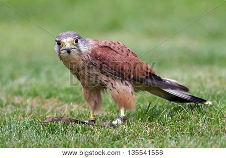 MARCH, UK - SEPTEMBER 11: A fully trained falconers Kestrel concentrates on prey at the end of a lure as part of the birds training for future public flying displays on September 11, 2014 in March