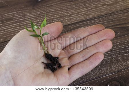 the green sprout in hand on a wooden background