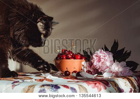 Fluffy black cat playing with red berries on table, vintage tablecloth, print fruit and blossom floral. Animal male steals cherry from the orange bowl. Still life, rustic background with sunlight and pink peony flower.
