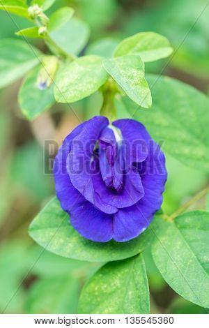 Clitoria ternatea or a Butterfly pea flower