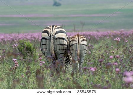 Zebra Mother And Foal In Meadow Of Wild Flowers, South Africa
