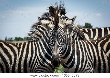 Three Zebras in a huddle, with one looking straight at the viewer