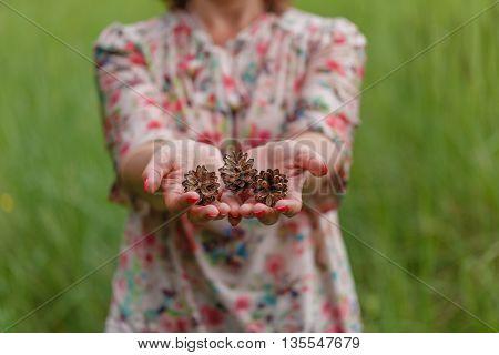 cones in the hands. Pine cones in woman hand