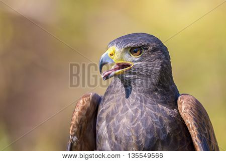 portrait of harris hawk on natural outdoor background