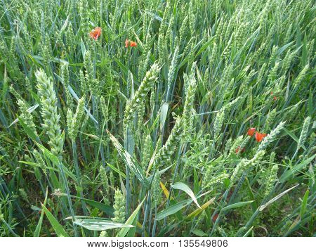 Detail Of A Green Wheat On A Field