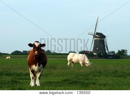 Two Cows And Windmill