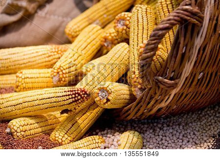 Corn Cobs In Basket