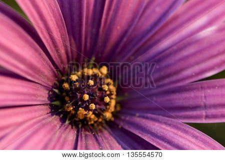 macro yellow pollen and purple petal of purple daisy
