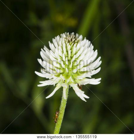 Mountain clover Trifolium montanum flower macro selective focus shallow DOF
