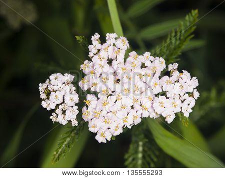 Blooming Common Yarrow Achillea millefolium flower cluster with dark bokeh background macro selective focus shallow DOF