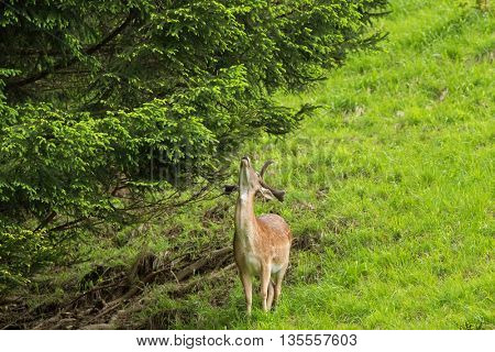 View of male Red deer with new horn trying to reach a twig of pine tree in the forest during summer in Austria, Europe