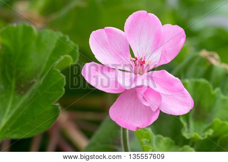 Closeup photo of Geranium flowers with pink petals blooming during summer in Austria, Europe