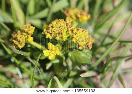 Flowering Yellow Rocketcress (barbarea Vulgaris) Macro Shot