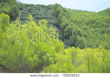 Dense Green Dwarf Pines on the Hillside