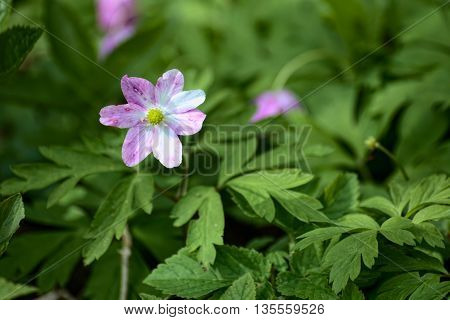 Purple Colored Blossom Of The Wood Anemone (anemona Nemorosa)